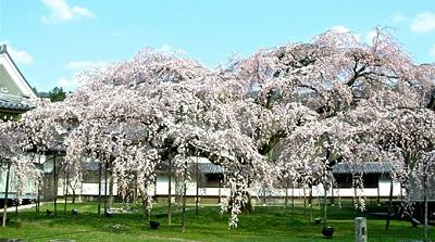 daigosi-sakura