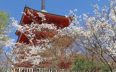 kiyomizudera-sakura