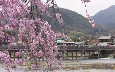 srashiyama-sakura